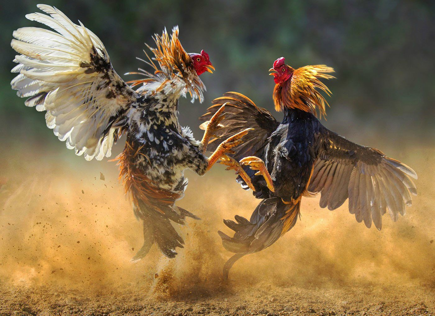 Roosters cock fighting