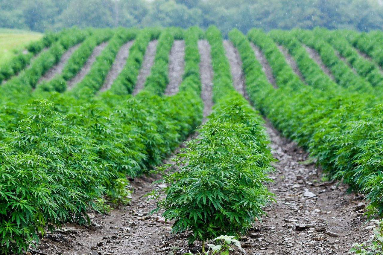First License For Hemp Cultivation Granted In Usvi
